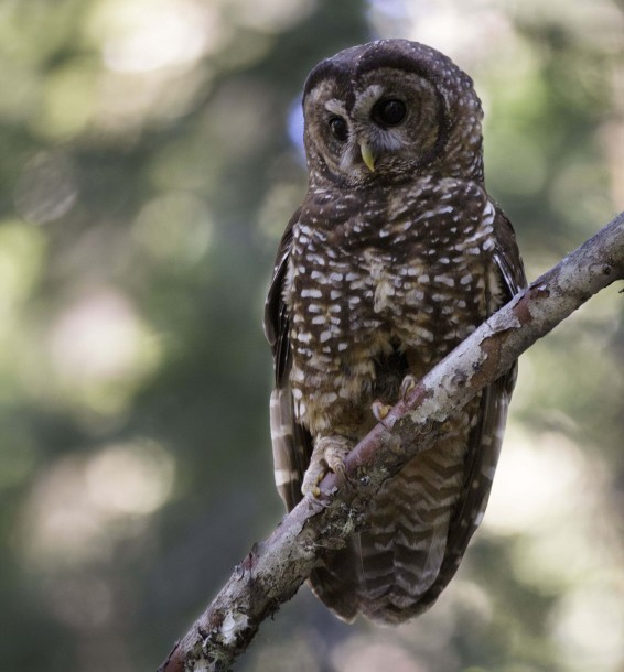 Female_Spotted_Owl_(14412444840)