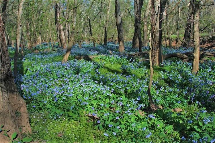 800px-Virginia_Bluebells,_Merrimac_Farm_Wildlife_Management_Area,_Nokesville,_Virginia