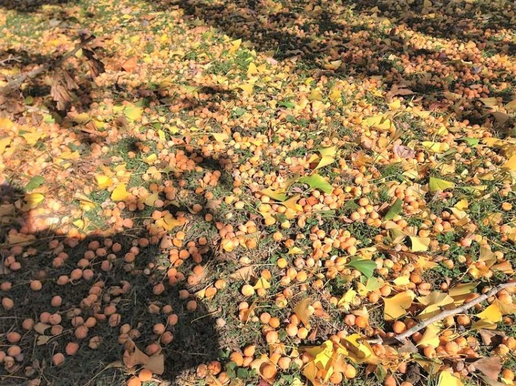2014-11-02_12_14_11_Ginkgo_fruit_on_the_ground_at_the_Ewing_Presbyterian_Church_Cemetery_in_Ewing,_New_Jersey